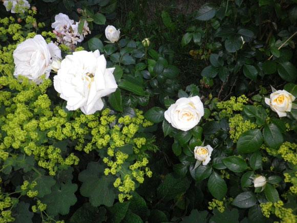 Rosen beginnen zu blühen.Es ergeben sich wieder viele schöne Eindrücke in diesem Blütenmeer