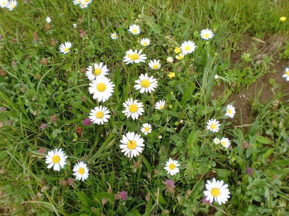 Aber es gibt auch herrliche Blumenwiesen am Wegrand