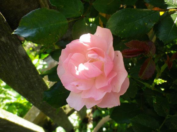 Der Juni bringt schon ein wenig Farbe in meinen Rosengarten.