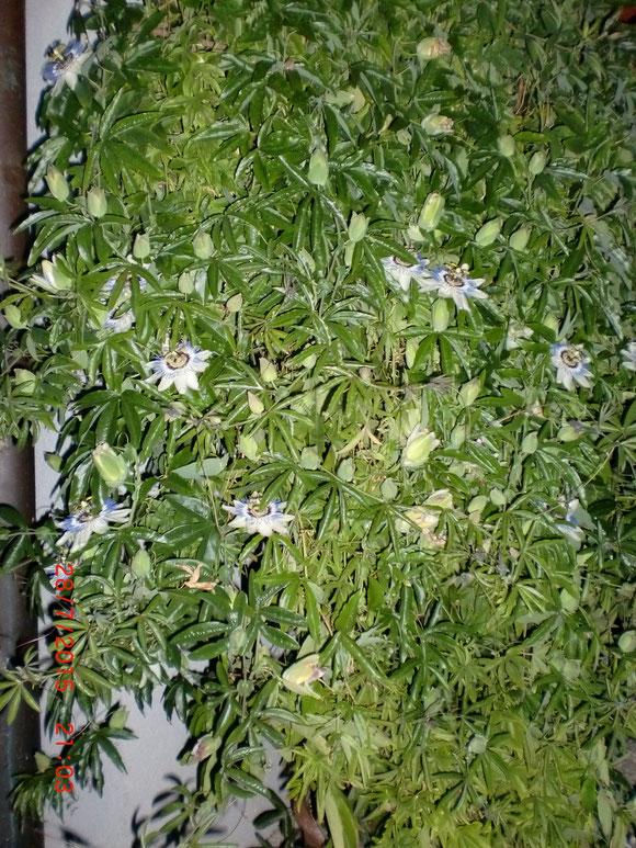 Ich freu mich so. Meine Passionsblume hat 17 Blüten auf einmal. Das ist selten. Blüten halten leider nur 1 Tag