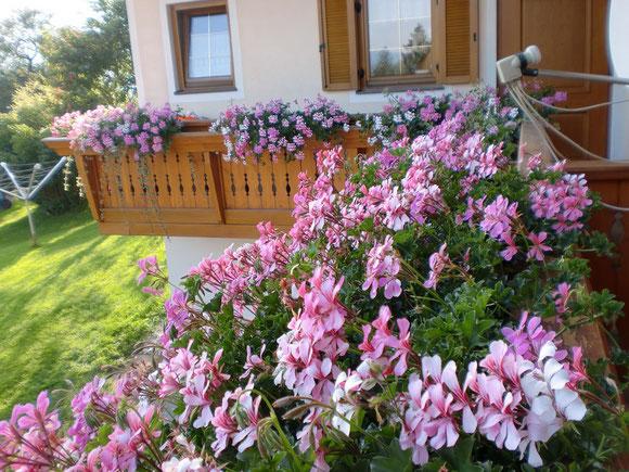 Balkonblumen im August