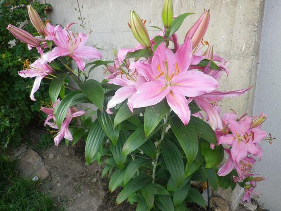 Meine Lilie erstrahlt auch wieder in voller Schönheit