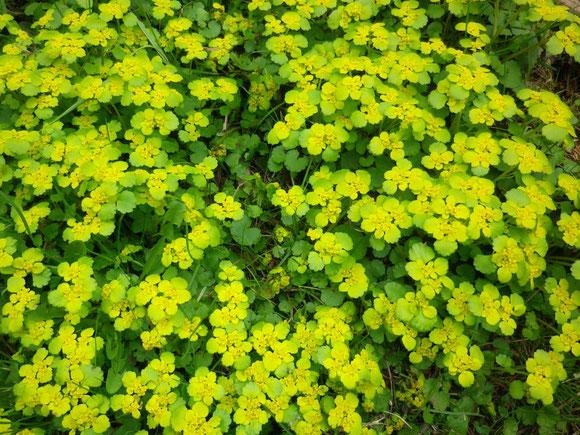 Die ersten blüten des Milzkrautes (Chrysoplenium alternifolium) besiedeln die Kräuteroase