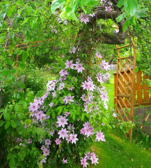 Die Waldrebe entfaltet ihre volle Blütenbracht