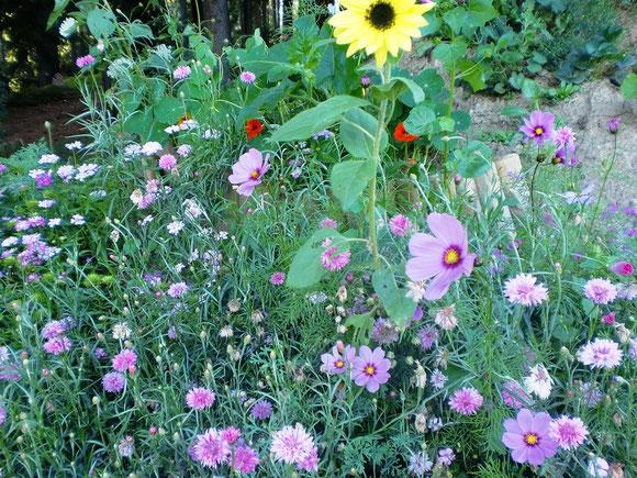 Am Sommerblumenhügel blühts jetzt lila