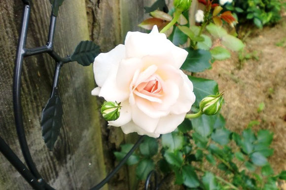 Auch Rosen blühen noch