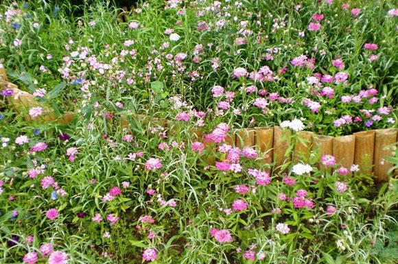 Sommerblumenhügel rosarote Blütezeit