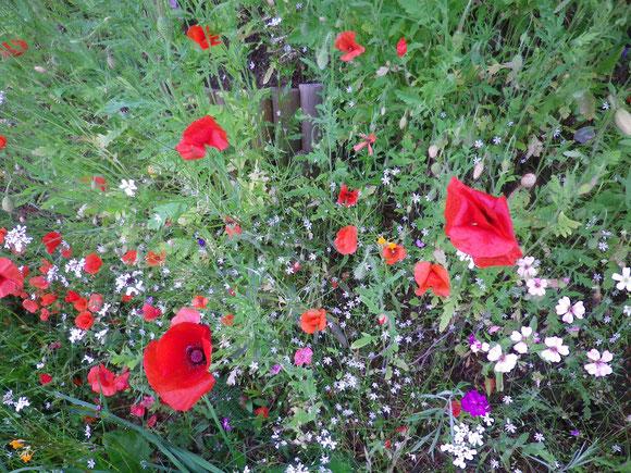 Am Sommerblumenhügel blüht jetzt erst einmal der Mohn