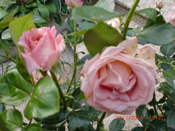 Schon blühen wieder die Rosen