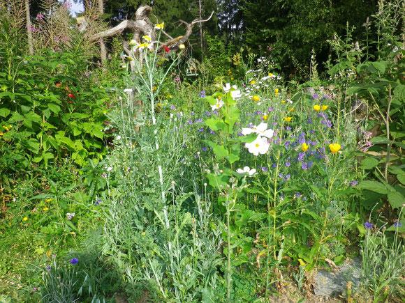 Trotz großer Trockenheit in diesem Jahr gibt es eine gute Kräuterernde und viele schöne Sommerblumen