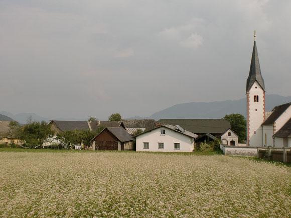 Rückblick am frühen Nachmittag auf Rinkenberg mit blühenden Buchweizenfeld