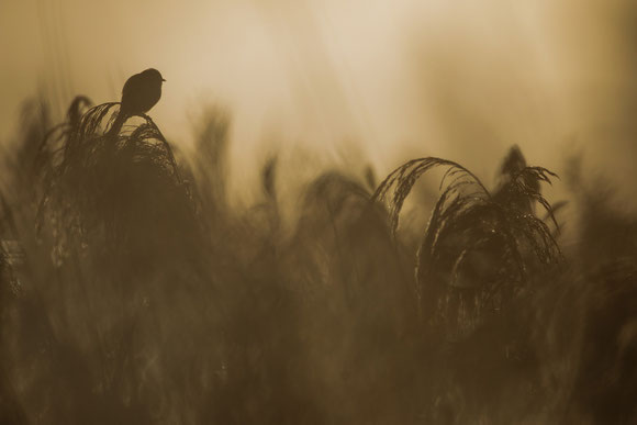 Bartmeise, sebastian vogel, federsee, naturfotografie, vogelfotografie