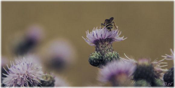 Die Wildbiene, die unerkannt bleiben wollte