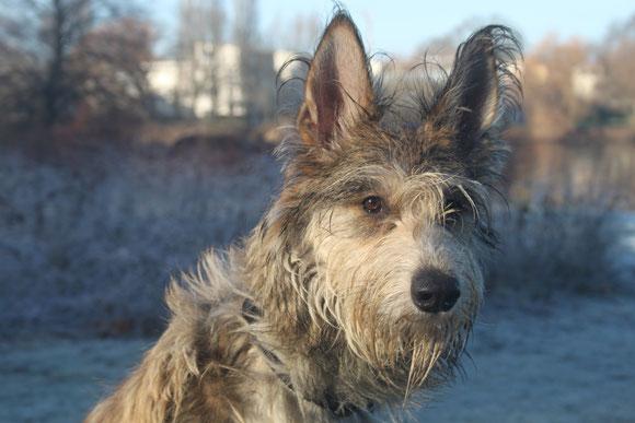 Der Picard, Vertreter einer alten Hirtenhundrasse aus dem Norden Frankreichs