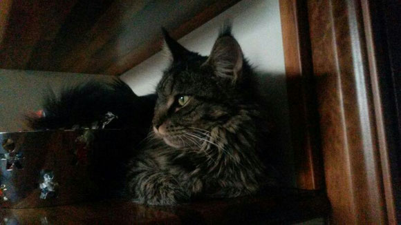 Vision Dolceblu maine coon brow tabby