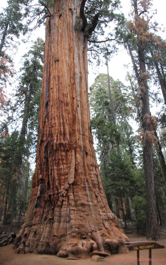 Die Nationalparks in den USA, Reisetipps und Informationen.  Mammutbaum The President im Sequoia Nationalpark.