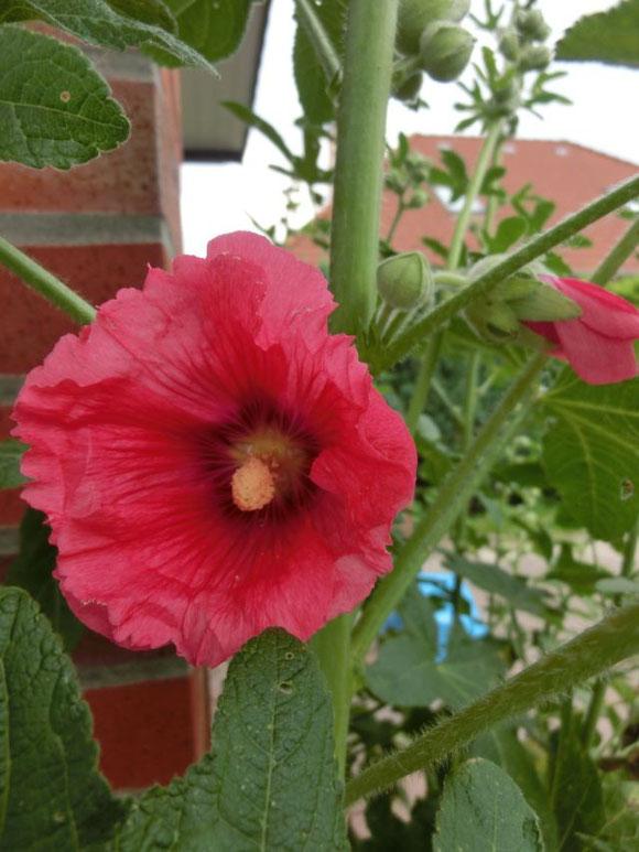 3. Juli - endlich öffnet sich die erste Stockrosenblüte