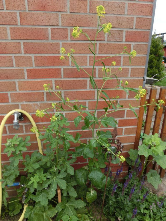 Rätselhafte Pflanze - hat sich selbst ausgesäht