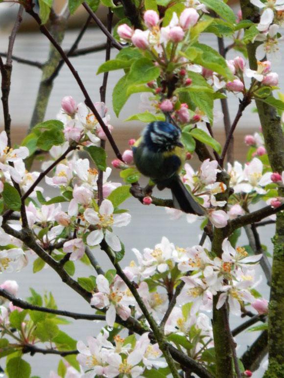 Blaumeise, Apfelblüte