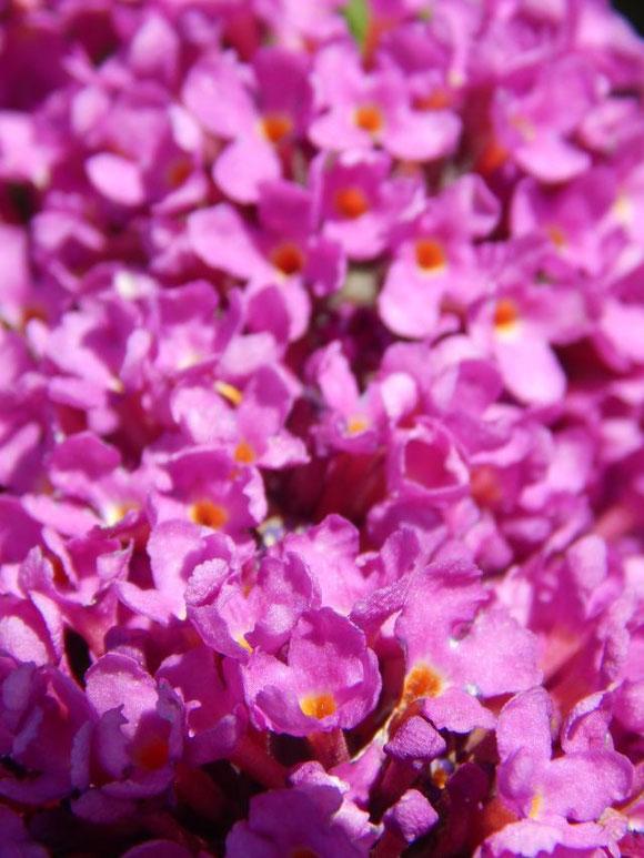 Blüte vom Schmetterlingsstrauch