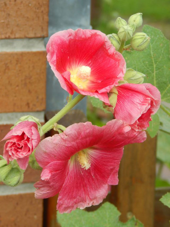 Stockrose pinkgelb