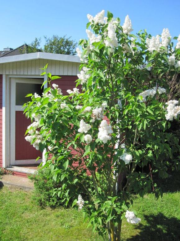 Wenn der weiße Flieder wieder blüht... (an einem der wenigen komplett sonnigen, regenfreien Tage).....
