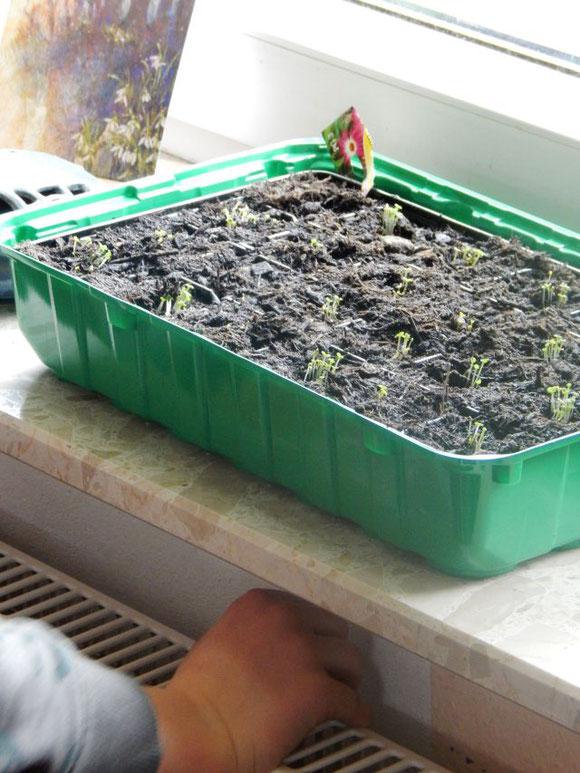 Saat vorziehen, Saatanzucht, Mittagsblumen