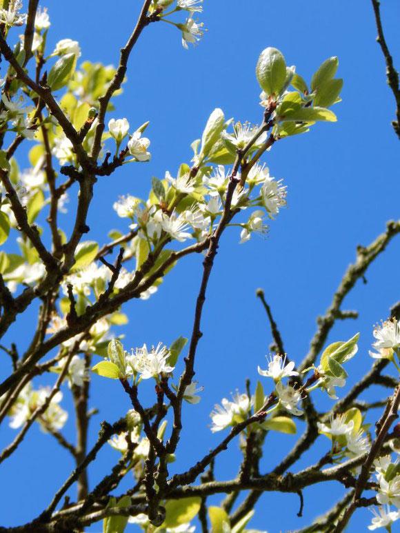 Pflaumenbaum in Blüte, Pflaumenblüte