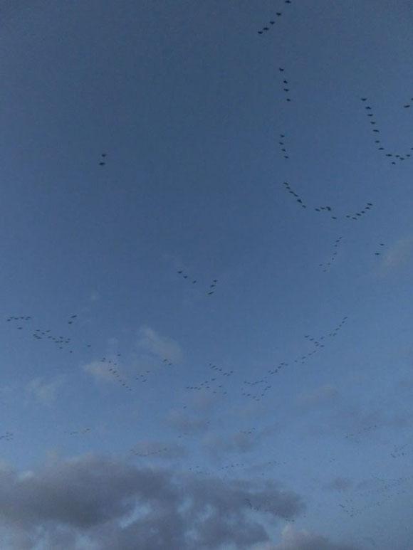 Zugvögel, Wildgänse