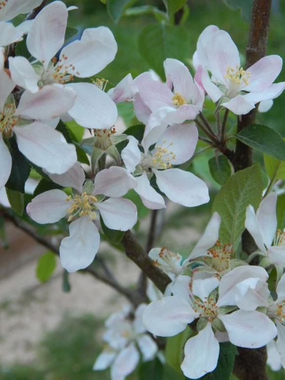Apfelblüte Topaz