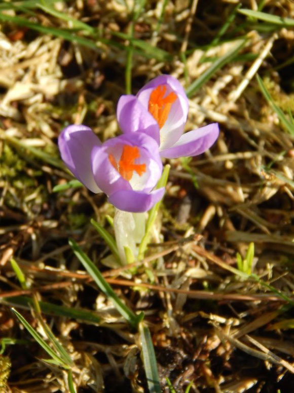 Krokus, Krokusse, violett, lila