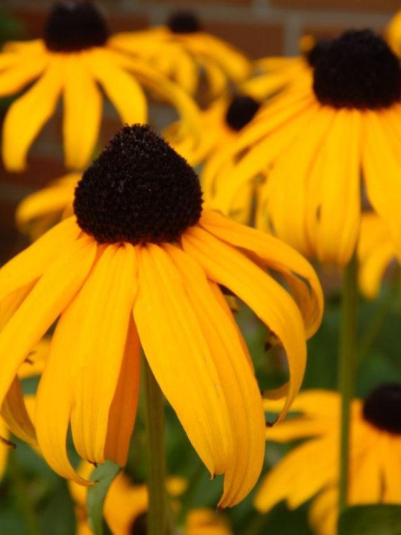 Goldener Sonnenhut