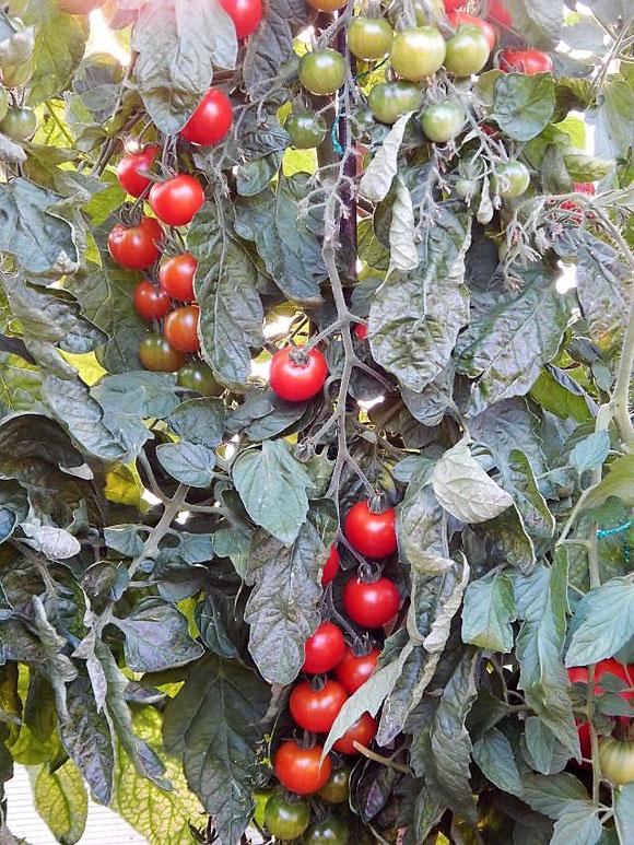 Die Tomaten in unserem Tomatenhaus sind reif!