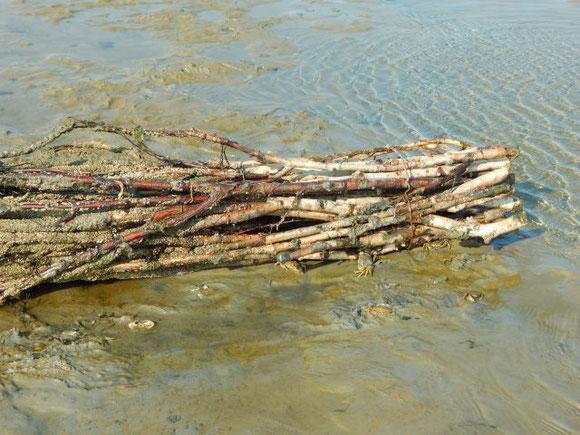 Strandkrabben (gehören zu den Kurzschwanz-Krebsen) verstecken sich im Watt unter dem Reisigbündel vor der Sonne und Trockenheit