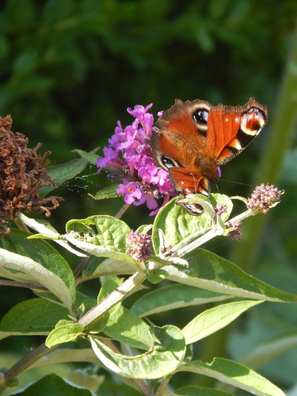 Mein kleiner wöchentlicher Blumengruß: Tagpfauenauge auf Schmetterlingsflieder