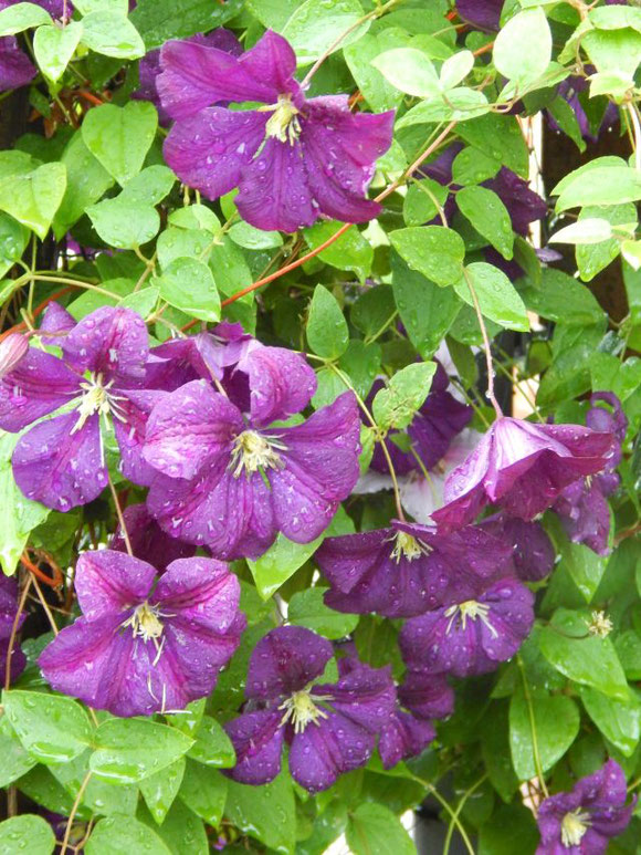 Unsere lila Clematis nach dem Regen
