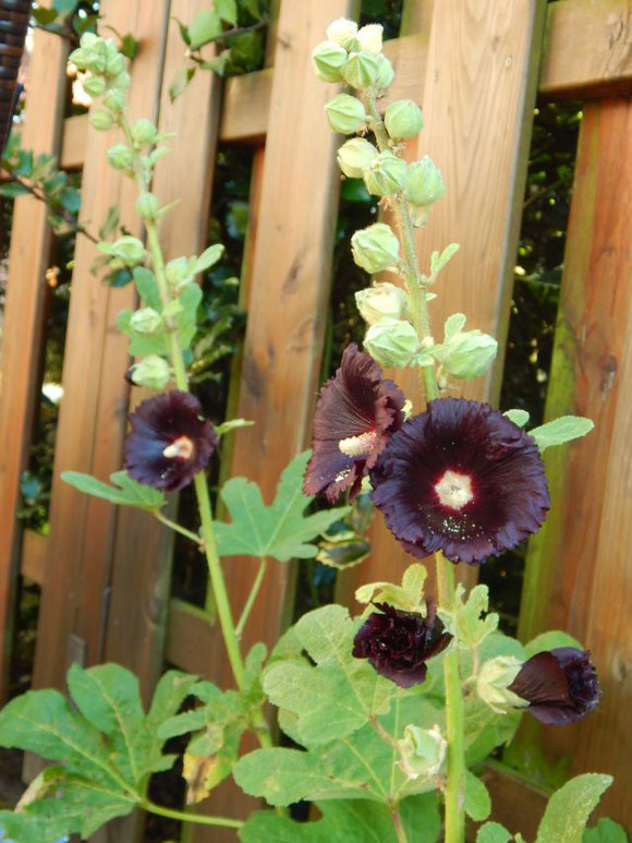 Stockrose schwarz