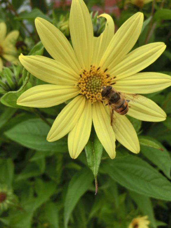 Zitronengelbe Sonnenblumenstaude