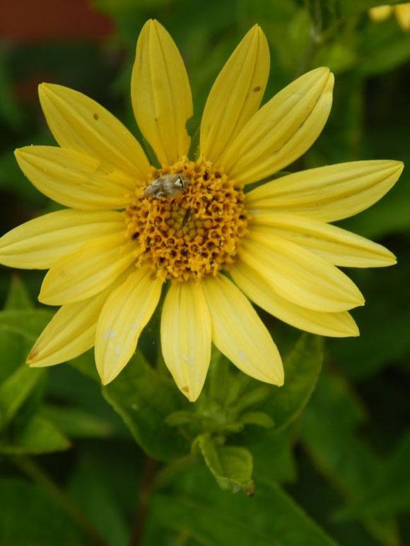 Zitronengelbe Sonnenblume