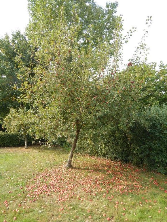 Roter Apfelbaum auf unserem nahen Spielplatz mit Streuobst