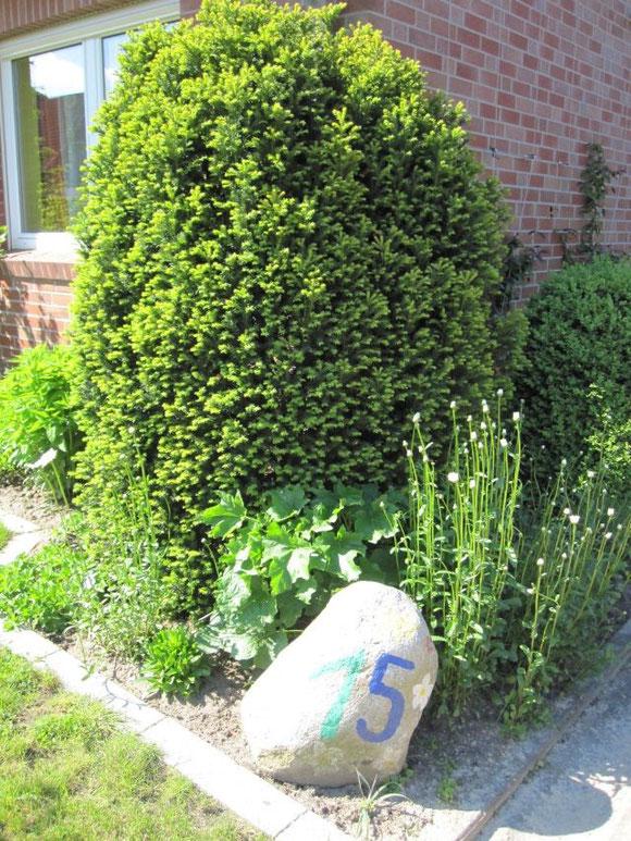 Vorm Haus - die Margheriten sind dieses Jahr wunderschön gekommen....