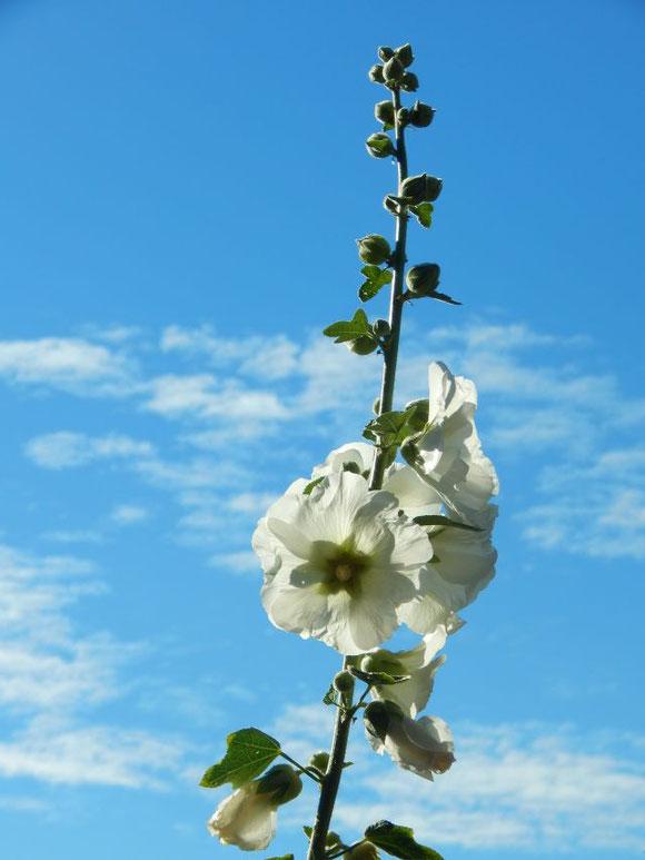 Stockrose weiß