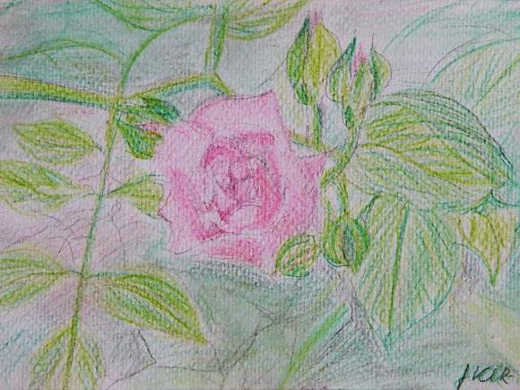 Aufblühende Rose aus unserem Garten