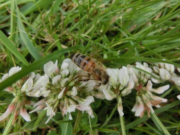 Kleebuffet für eine offenbar kranke Biene... von den Kindern angerichtet