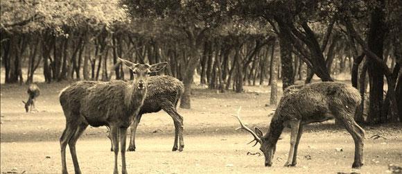 Ciervos en el Monte El Viejo