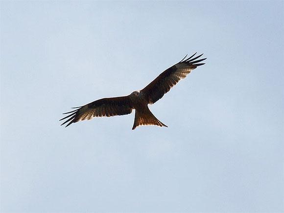 Rotmilan im Suchflug am blauen Himmel