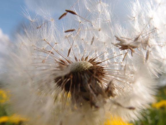 Samenstände der Pusteblume in Nahaufnahme