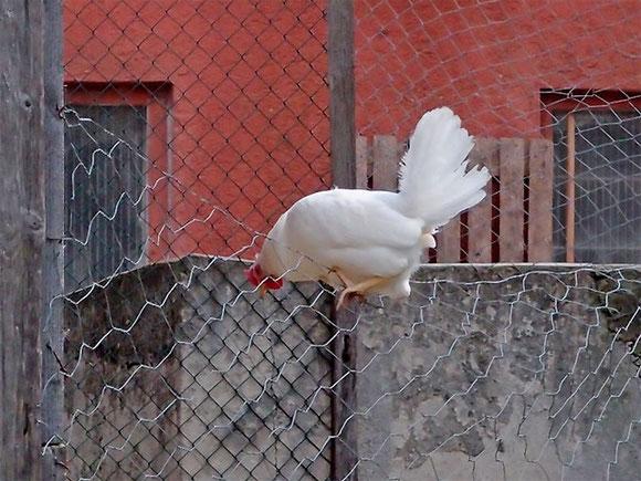 Huhn sitzt auf einem Zaun will zurück in den Hühnerhof Sommer 2020 in Bichishausen, Lautertal-Schwäbische Alb