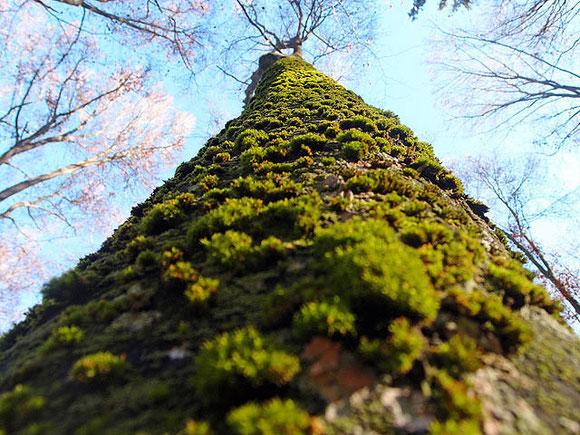 Moosbedeckter Baumstamm ragt in blauen Himmel