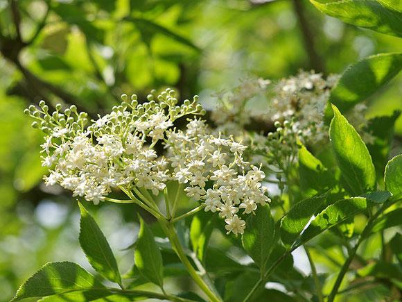 Holunderblüten mit grünen Blättern in der Sonne